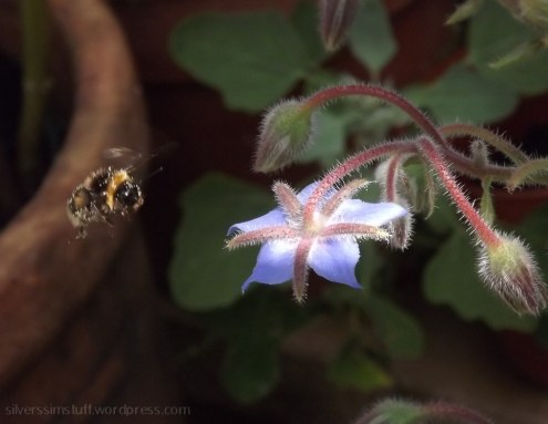 busy-bee-borage