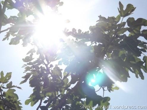 fig-sun