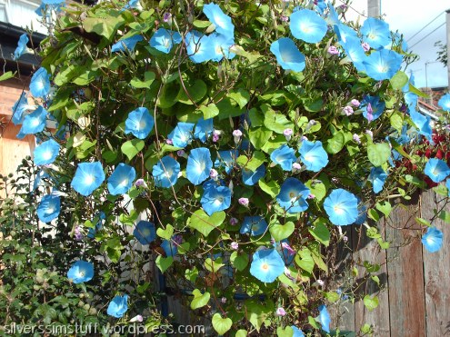 old-morningglories