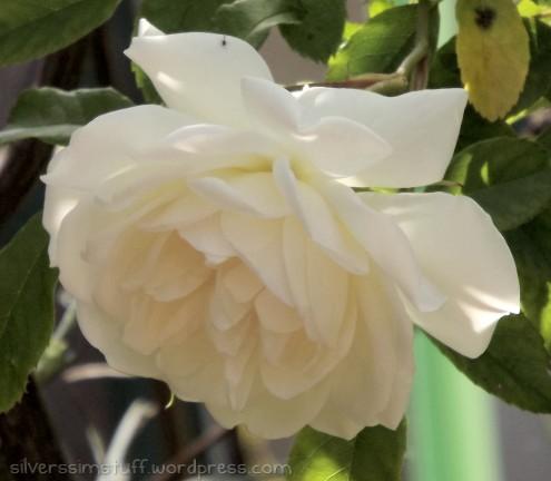 2015-whiterose